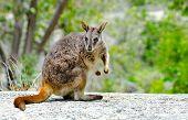 Rock Wallaby - Queensland, Australia