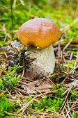 pic of bolete  - Beautiful fresh pine bolete  - JPG