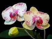 Mottled Phalaenopsis