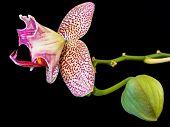 Snake Phalaenopsis