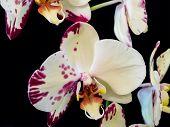 Defective Phalaenopsis