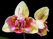 Open Mouth Phalaenopsis