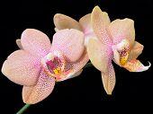 Pink Dotted Phalaenopsis