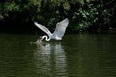 Egret Feeding