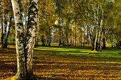 sunset birch forest