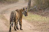 Glancing Tiger