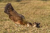 pic of bantams  - Pet Bantam hen with new born chickens baby chicks foraging for feed - JPG