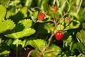 Fragaria Vesca, Woodland Strawberry