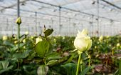 White Flowering Rose Growing In A Greenhouse