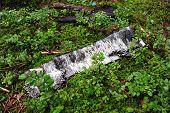 Old Birch Bark