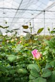 Pink Flowering Rose Growing In A Greenhouse