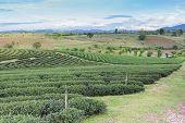 Tea plantation field