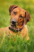 Rhodesian Ridgeback Lying On The Grass