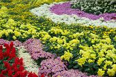 Various Chrysanthemum Flowers