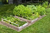 Three raised garden beds growing fresh vegetables in a backyard