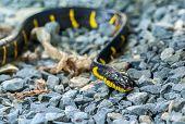 Snake Krait