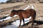 Hinny on winter meadow