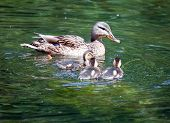 Duck with ducklings in the lake