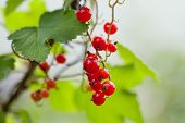 Bunch Of Red Currant Berries