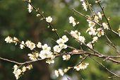 Plum flowers, Flowering plum