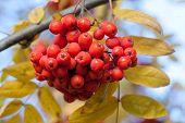 Ashberry.  Autumn.