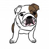 Pup of english bulldog