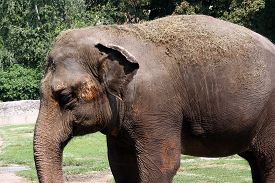 picture of indian elephant  - Indian elephant in the zoo - JPG