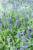 pic of salvia  - Purple salvia flowers at the nature  - JPG