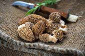 picture of morchella mushrooms  - Fresh Morelle Mushrooms on rustic burlap  background - JPG