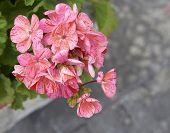 image of geranium  - detail of geranium in a meadow in la spezia - JPG