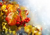 stock photo of rowan berry  - Fall background with yellow leaves - JPG
