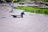 picture of duck  - The wood duck  considered to be the most beautiful ducks