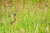 picture of wild-rabbit  - Wild rabbit in nature hiding in the grass - JPG