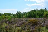 pic of common  - Chailey common is one of the largest heathland commons at 450 acres in Southern England - JPG