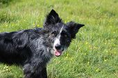 picture of border collie  - Border collie looking happy after rolling around in the mud - JPG