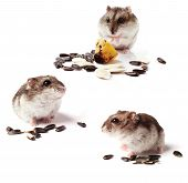 picture of hamster  - hamsters with grain isolated on white background - JPG