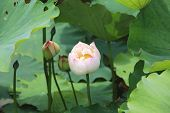 picture of ponds  - Peony Lotus buds and leaves - JPG