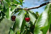 picture of cherries  - Ecological fresh sweet ripe cherries from Valle del Jerte in Spain in cherry - JPG