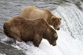 "picture of mating bears  - Two grizzly bears wait patiently for the sockeye salmon to jump into their ""catch zone"". But the salmone are not jumping today at Katmai National Park Alaska.