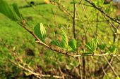 foto of alder-tree  - branch of young leaves of alder in the spring - JPG
