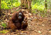 picture of orangutan  - Wild orangutans in Borneo forest Sumatra Indonesia. ** Note: Soft Focus at 100%, best at smaller sizes - JPG