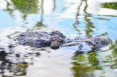 stock photo of crocodile  - Big Brown and Yellow Amphibian Prehistoric Crocodile - JPG
