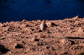 stock photo of water bird  - One Adult Kentish Plover Water Bird near a Rock Beach