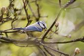 image of tit  - A small blue tit sitting in the branches - JPG