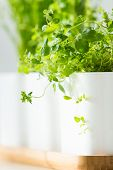 picture of oregano  - Oregano in the pot and other herbs in the background