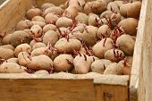 image of germination  - Potato tubers with germinated sprouts in wooden box before planting into the soil - JPG