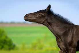pic of colt  - Beautiful black colt portrait on pasture in summer day - JPG