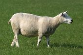 Sheep Grazing in lush meadow