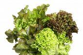 Salat-Sorten