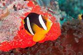 Yellowtail anemonefish